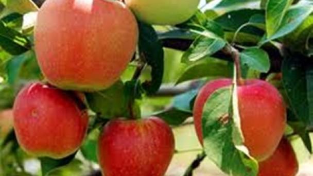 Tosya'da Meyveciliği Geliştirme Programı Başlatılacak