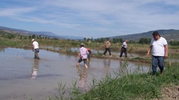 Tosya Pirincinde Mahreç Çalışmaları Tam Gaz!