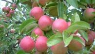 Bağlarda elmalar toplanmaya başladı
