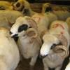 Hayvan üreticisine Kurban Bayramı uyarıları
