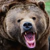 Gavur Dağı`nda da 100 adet boz ayı yaşıyor