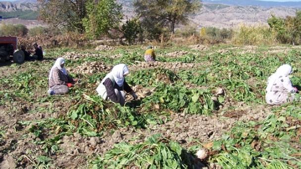 Tosya'da Şeker Pancarı Hasadı Başladı
