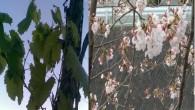 Tosya'da  Ağaçlarının İlkbahar Aşkı Şaşırttı!