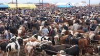 Tosya Hayvan Pazarı'nda Kurban Mesaisi