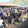 Tosya Hayvan Pazarı Kapatıldı