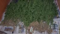 Tosya'da Uyuşturucuya Bir Darbe Daha