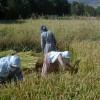 Meşhur Tosya Pirinci