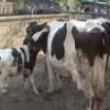 İlçemiz Hayvan Pazarı Şap Hastalığı Nedeniyle Kapatıldı