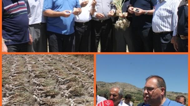 Tosya'da Sarımsak Hasadı Başladı