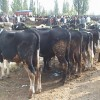 Tosya Hayvan Pazarındaki Yasak Süresi Uzatıldı