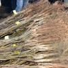 Tosya'da 500 Dönüm Ceviz Bahçesi Kuruluyor
