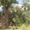 Dünyanın en yaşlı kavak ağacı Tosya'da!