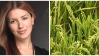 Tosya'da Hangi, Pirinç Menşei Üretiliyor?