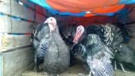 Tosya'da Yılbaşı Hindileri Pazara çıktı