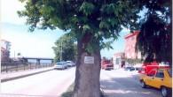 Bu agaç İnebolu Belediyesi tarafından kesilmiştir