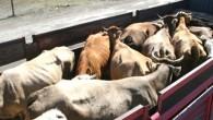 Kurbanlık Hayvan Sevkiyatları Başladı