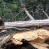 Tosya'da kestiği ağaç üstüne düşen adam öldü