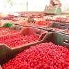 Tosya'da Kızılcık Sezonu Başladı