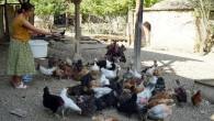 Üniversiteli genç kız, Kastamonu'da imece usulü köy işlerinde çalışıyor