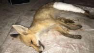 Kastamonu'da yaralı tilki tedavi altına alındı