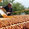 Osmanlı mutfağının vazgeçilmez meyvesi Üryani eriğinin hasadı başladı