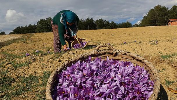 Kilosu 30 bin TL olan safranda hasat başladı
