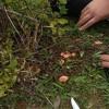 Topladıkları mantarları yiyen 9 kişi zehirlendi