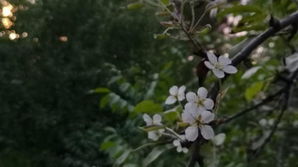 Tosya'da Meyve Ağaçları Çiçek Açtı