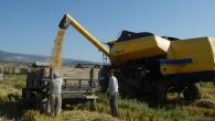 Tosya'da çeltikte beklenen rekolte 6bin 500 ton