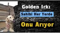 Sahibi Kaybolan Golden Irkı Köpeğini Arıyor