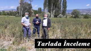 Tosya Tarım Müdürlüğünden Tarlada Hastalık İncelemesi