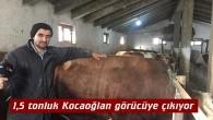 Tosya'da yetiştirilen 1,5 tonluk Kocaoğlan görücüye çıkıyor